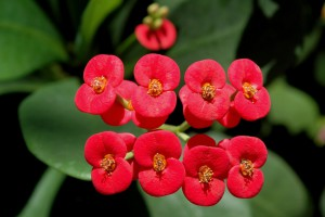 Coroa de Cristo Euphorbia_Milii_flowers
