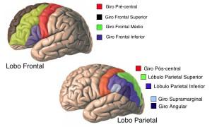 Lobos-cerebrais