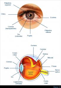 anatomia-olho-humano