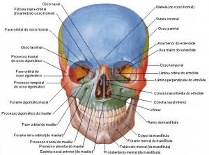 cranioanterior