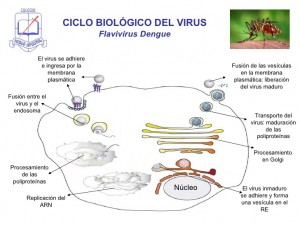 dengue-7-728