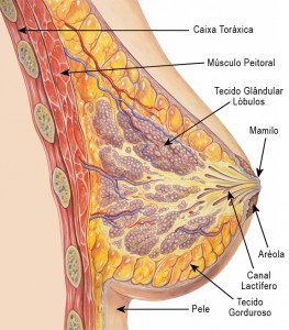 anatomia-da-mama