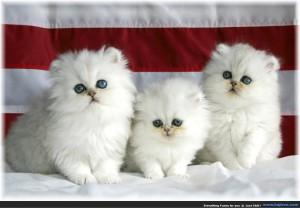 filhotes-legitimos-de-gato-persa-para-sp-em-12-x-sem-juros-961011-mlb20461264855_102015-f