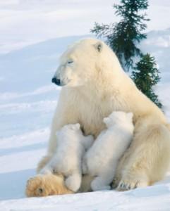 polarbearnursing