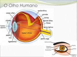 ptica-o-olho-humano-4-638